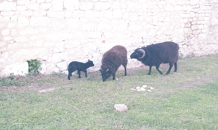 agneau-communication-animale-ouessant