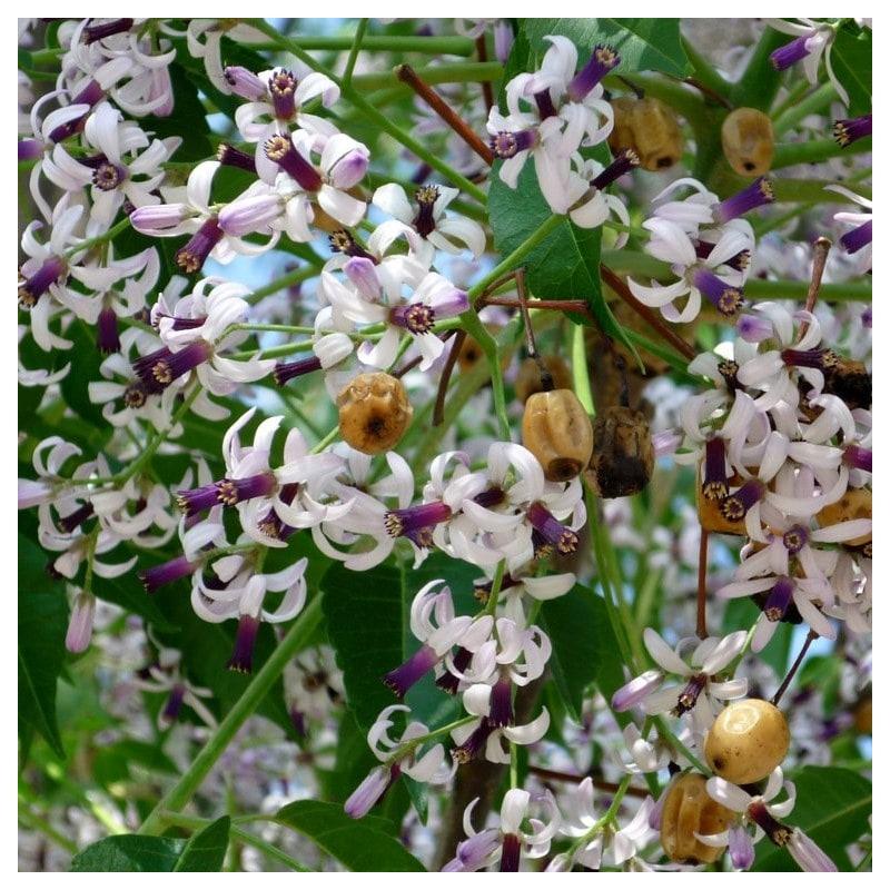 melia-spiritualite-regne-vegetal