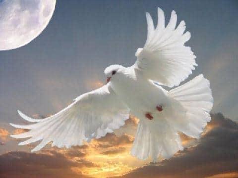 colombe vol ange blanc paix fraternité